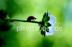 Marienkaefer-Blume-Photo-Schindelbeck-FFGP1887_600p